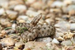 美丽的少年鼻子有角的蛇蝎 免版税库存图片