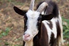 美丽的山羊纵向 免版税库存图片