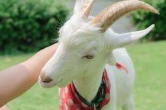 美丽的山羊 免版税库存图片