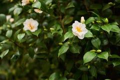 美丽的山茶花在植物的公园开花开花 库存图片