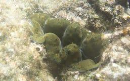 美丽的巨蛤蛤蜊 图库摄影