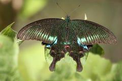 美丽的巴黎孔雀铗蝶 免版税库存照片
