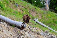 美丽的布朗北美灰熊 库存图片