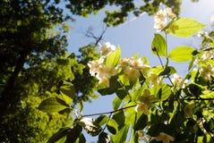 美丽的常青白色茉莉花花 库存照片