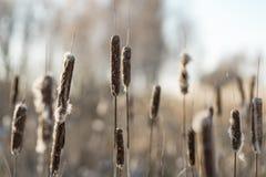 美丽的干燥芦苇在背后照明的一个冬日 库存图片