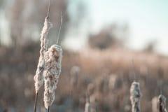 美丽的干燥芦苇在背后照明的一个冬日 图库摄影