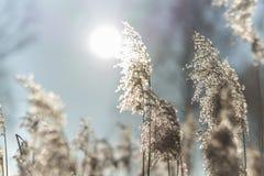 美丽的干燥黄色草在背后照明的一个冬天晴天 免版税库存图片
