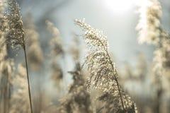 美丽的干燥黄色草在背后照明的一个冬天晴天 免版税库存照片