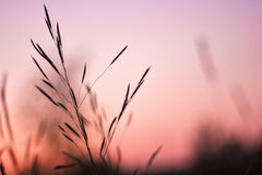 美丽的平静的挥动的芦苇在阳光下 库存照片