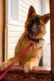 美丽的年轻狗牧羊人 图库摄影