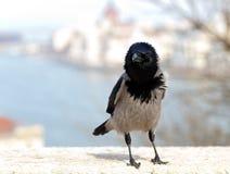 美丽的幼小乌鸦 图库摄影