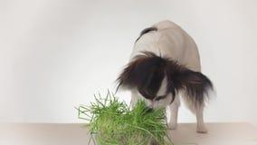 美丽的幼小公吃在白色背景的狗大陆玩具西班牙猎狗papillon新鲜的发芽的燕麦库存英尺长度 股票视频