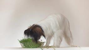 美丽的幼小公吃在白色背景的狗大陆玩具西班牙猎狗papillon新鲜的发芽的燕麦库存英尺长度 股票录像