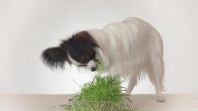 美丽的幼小公吃在白色背景的狗大陆玩具西班牙猎狗papillon新鲜的发芽的燕麦库存英尺长度 影视素材