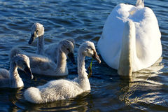 美丽的幼小天鹅游泳与他们的父母 免版税库存图片