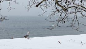 美丽的幼小天鹅2 库存图片