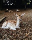 美丽的幼小小鹿在秋天公园 库存照片