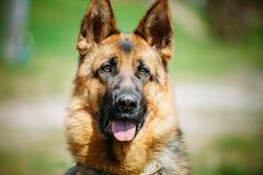 美丽的幼小布朗德国牧羊犬狗 库存图片
