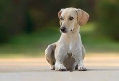 美丽的幼小母狗 库存照片