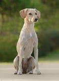 美丽的幼小母狗 免版税图库摄影