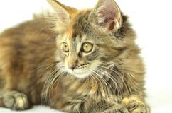 美丽的幼小缅因树狸猫画象  库存照片