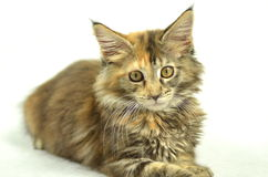 美丽的幼小缅因树狸猫画象  免版税库存图片