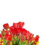 美丽的庭院新鲜的五颜六色的郁金香 免版税库存图片