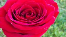 美丽的庭院玫瑰 免版税库存图片