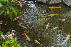 美丽的庭院用日本人Koi鲤鱼和植物 免版税库存图片