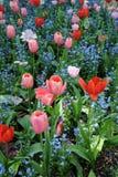 美丽的庭院红色和桃红色郁金香 免版税库存图片
