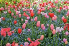 美丽的庭院红色和桃红色郁金香 免版税库存照片