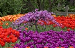美丽的庭院郁金香 免版税库存照片