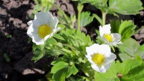 美丽的开花开花春天草莓 影视素材