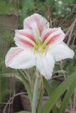 美丽的开花桃红色星形状花, Hippeastrum johnsonii 免版税库存照片