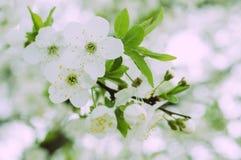 美丽的开花樱桃春天结构树 库存图片