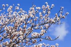 美丽的开花樱桃 免版税库存图片
