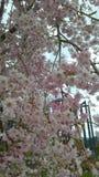 美丽的开花樱桃 库存照片