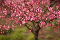 美丽的开花瓷桃子 免版税库存图片