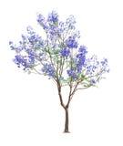 美丽的开花的兰花楹属植物结构树 图库摄影