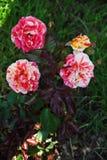 美丽的开花的四口之家芽 开花的黄色红色穿戴的庭院绿茶上升了 库存照片