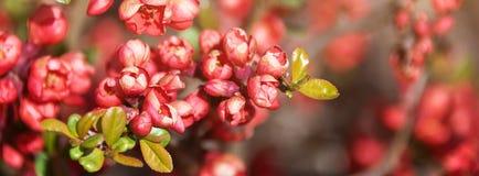 美丽的开花的日本樱桃佐仓 与花特写镜头的背景在一个春日 网站的横幅 库存照片