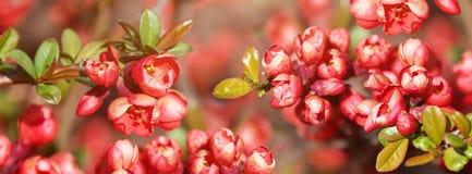 美丽的开花的日本樱桃佐仓 与花特写镜头的背景在一个春日 网站的横幅 免版税库存图片