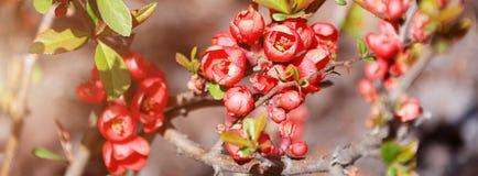 美丽的开花的日本樱桃佐仓 与花特写镜头的背景在一个春日 网站的横幅 库存图片