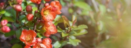 美丽的开花的日本樱桃佐仓 与花特写镜头的背景在一个春日 网站的横幅 图库摄影