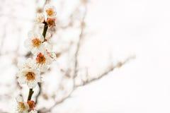 美丽的开花的日本樱桃佐仓 与fl的背景 免版税库存图片