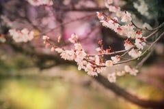 美丽的开花的日本樱桃佐仓 与fl的背景 免版税库存照片