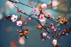 美丽的开花的日本樱桃-佐仓 与花的背景在一个春日 图库摄影