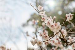 美丽的开花的日本樱桃-佐仓 与fl的背景 库存照片