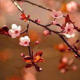 美丽的开花的日本樱桃 库存照片