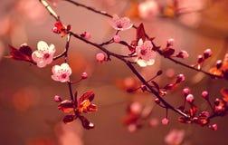 美丽的开花的日本樱桃 免版税库存照片